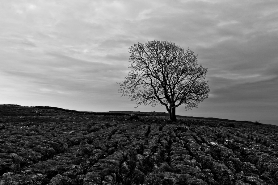 Lone Tree on Limestone Pavement, Malham, Yorkshire (Black and White)