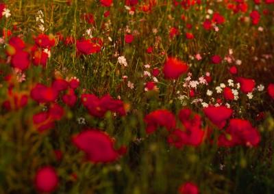 Slade Hooton Poppies