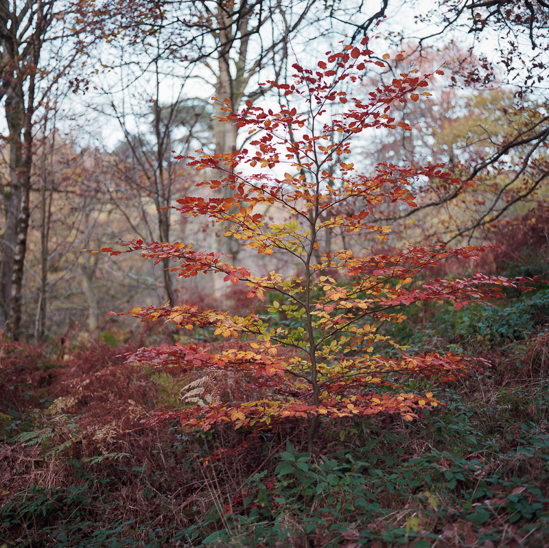Beech Tree, Padley Gorge