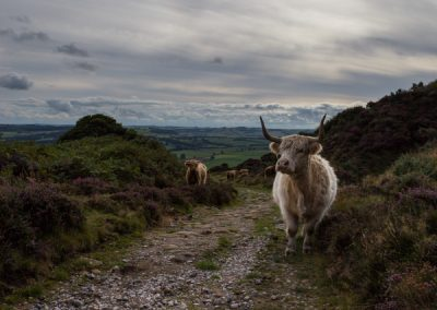 HighlandHighland Cattle, Baslow Edge, Derbyshire Peak District, peak district landscape photography Cattle, Baslow Edge, Derbyshire Peak District