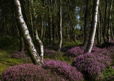 """Birch, Heather, Rock"", Stanton Moor, Peak District, peak district landscape photography"