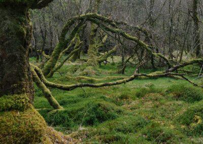 Ariundle Woods I, Ardnamurchan