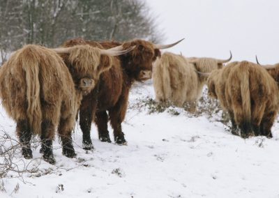 Highland Cattle, Longstone Moor, Peak District, peak district landscape photographer, peak district landscape photography, highland cattle, winter