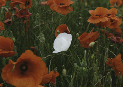 white poppy amongst red poppies